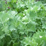 Kale is a low demand vegetable (but highly nutritious).