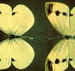 imp cab butterfly